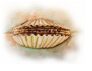 img-donor-bay-scallop-2
