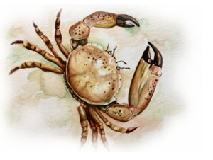 img-donor-stone-crab-2