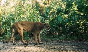 Florida panther in danger of becoming extinct